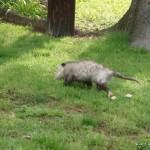 Wandering possum in someone's front yard