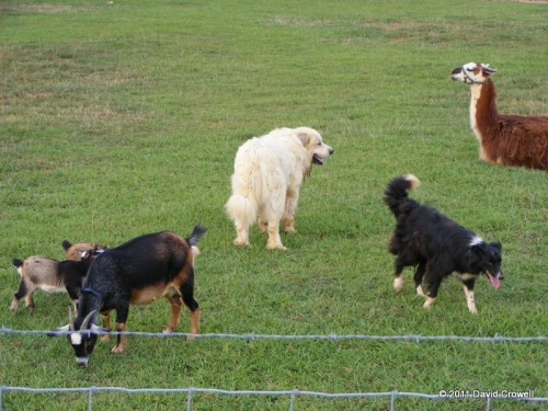 Dogs, goats, and a llama?